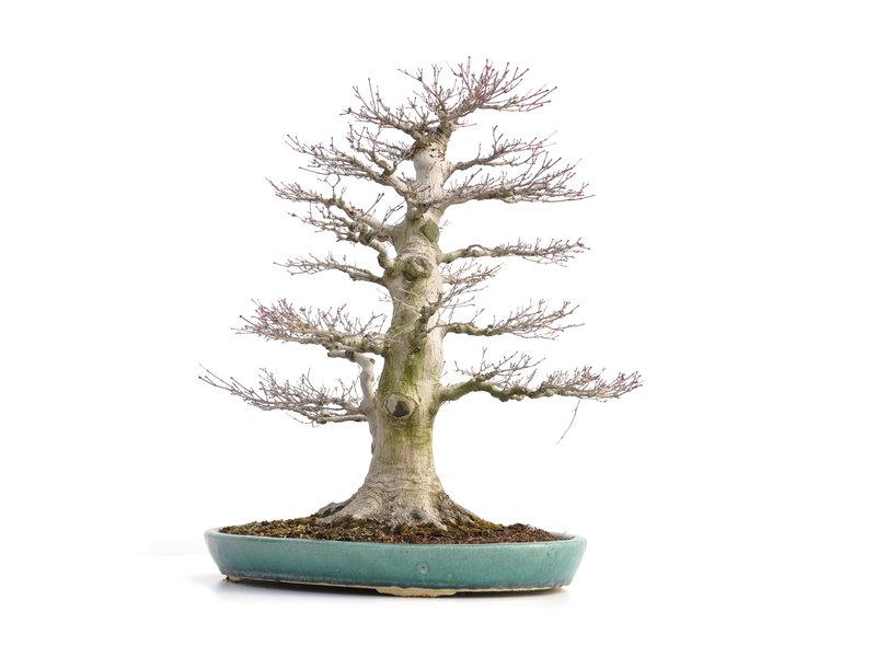 Acer palmatum, 69 cm, ± 35 jaar oud, met een nebari van 23,5 cm