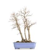 Acer palmatum, 53,5 cm, ± 30 jaar oud, met een nevel van 20 cm