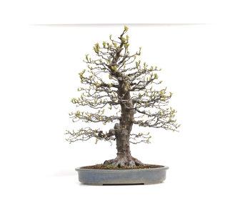 Pseudocydonia sinensis, 82 cm, ± 40 jaar oud