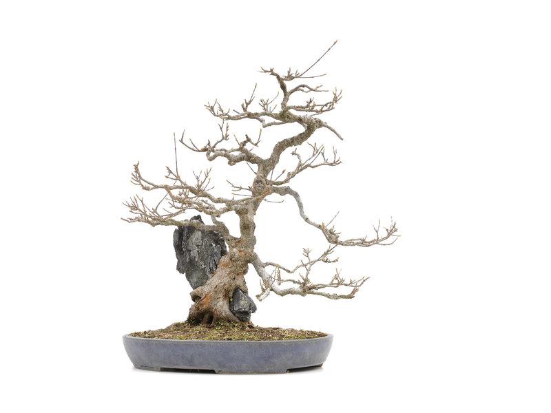Acer buergerianum, 49 cm, ± 30 jaar oud