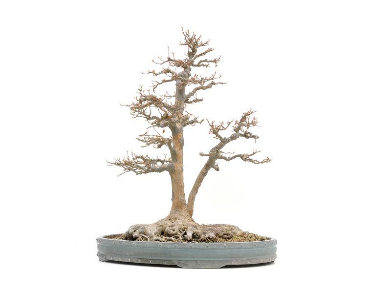 Acer buergerianum, 62,5 cm, ± 45 jaar oud, met een nebari van 39 cm