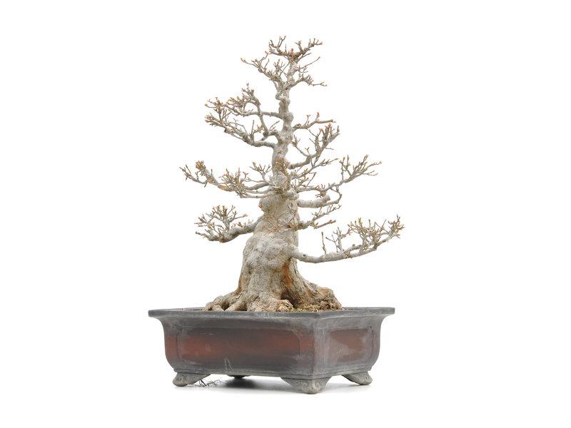 Acer buergerianum, 54,5 cm, ± 35 jaar oud, met een nebari van 27 cm