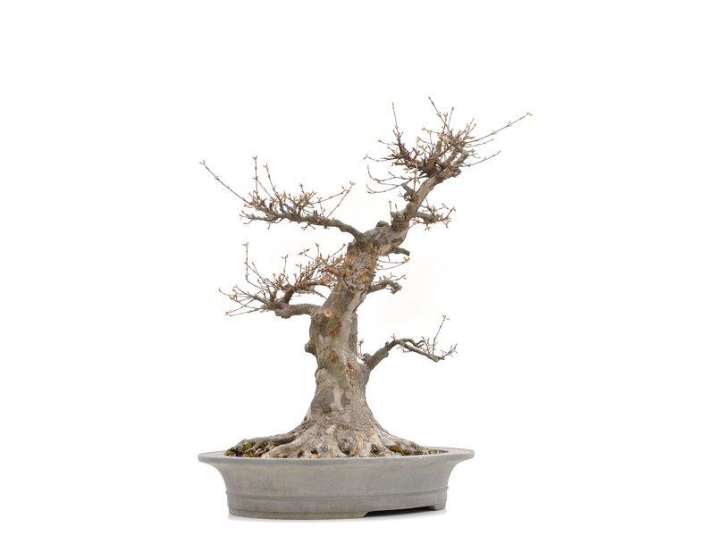 Acer buergerianum, 63 cm, ± 35 jaar oud, met een nebari van 36 cm