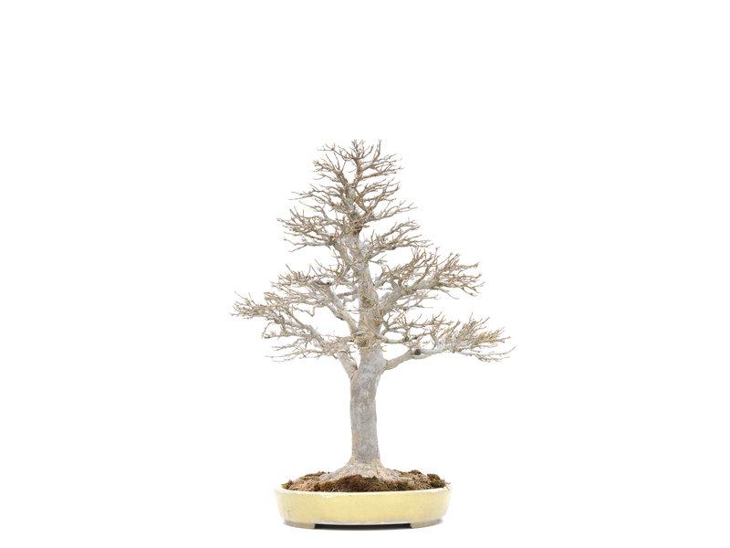 Acer buergerianum, 58 cm, ± 40 jaar oud, met een nebari van 18 cm