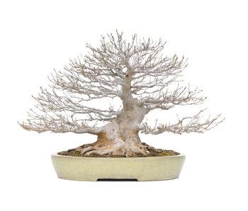 Acer buergerianum Kaede, 55 cm, ± 60 Jahre alt