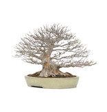 Acer buergerianum Kaede, 55 cm, ± 60 jaar oud, met een nebari van 40 cm
