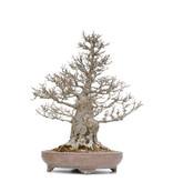 Acer buergerianum Kaede, 77,5 cm, ± 60 jaar oud, met een nebari van 30 cm