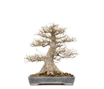 Acer buergerianum, 56,5 cm, ± 40 years old
