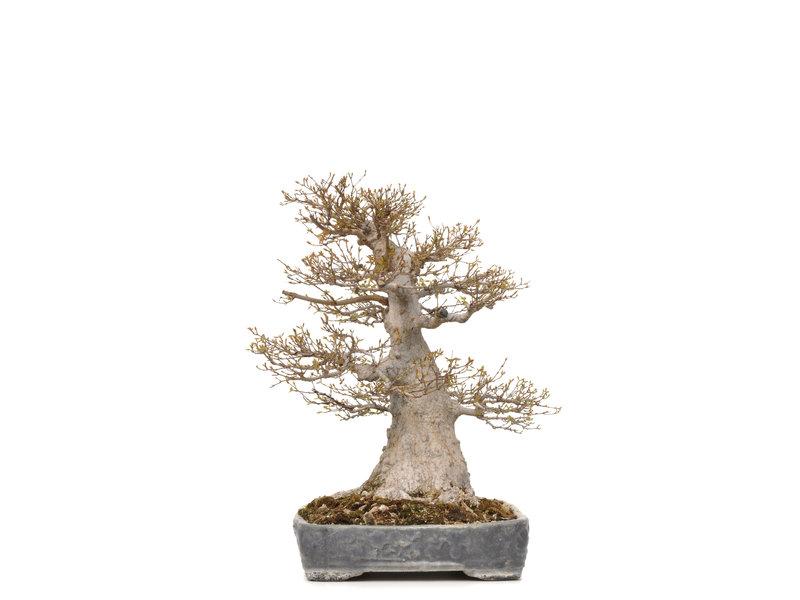 Acer buergerianum, 56,5 cm, ± 40 jaar oud, met een nebari van 36 cm