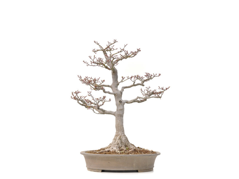 Acer palmatum Shishi-gashira, 59 cm, ± 40 jaar oud, met een nebari van 14 cm