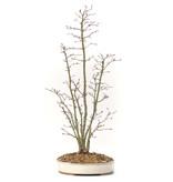 Acer palmatum, 55 cm, ± 10 jaar oud