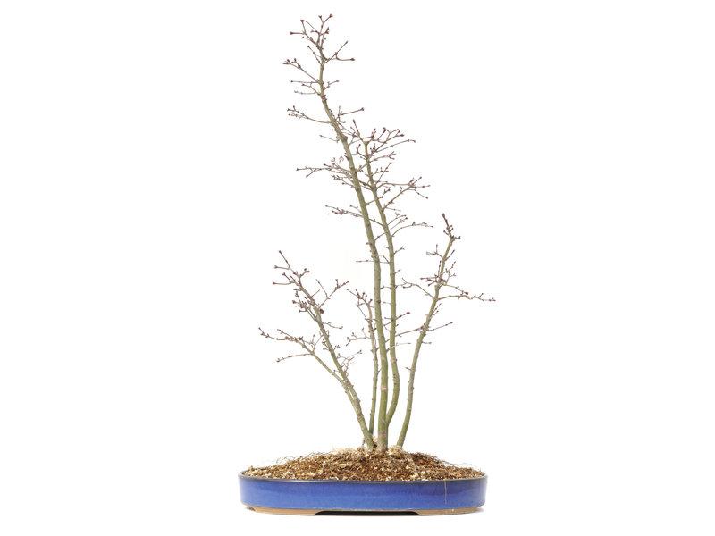 Acer palmatum, 55,1 cm, ± 10 jaar oud
