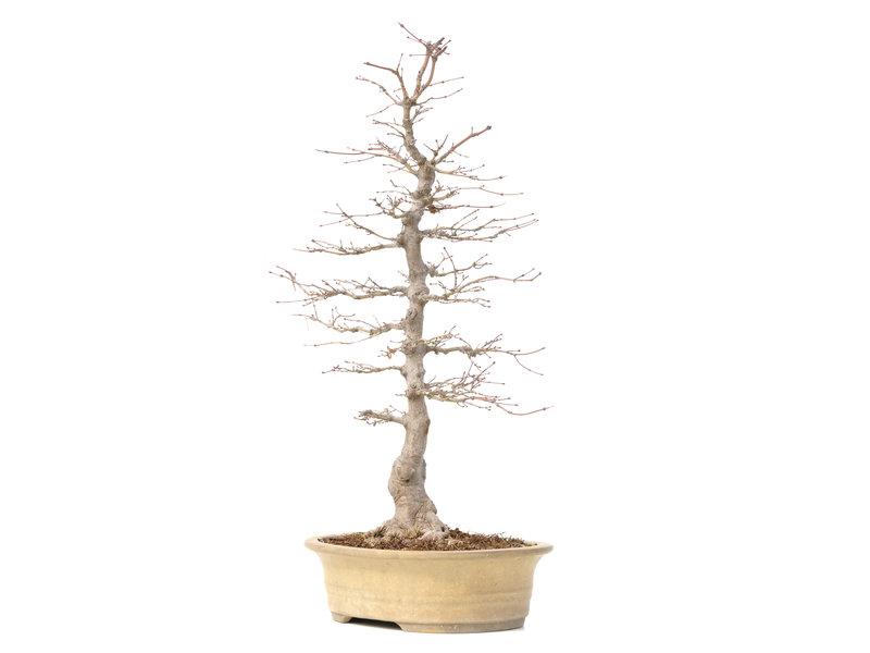 Acer palmatum, 50 cm, ± 25 jaar oud