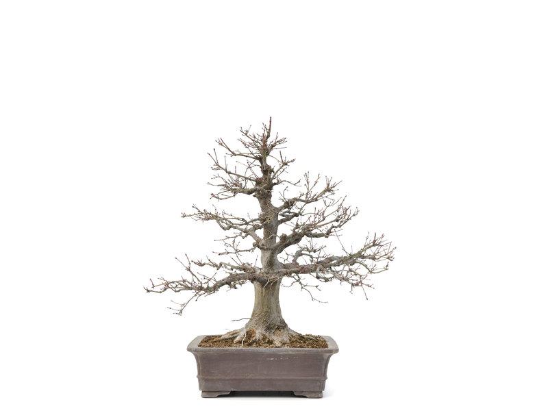 Acer palmatum, 53 cm, ± 30 jaar oud, met een nebari van 14,5 cm