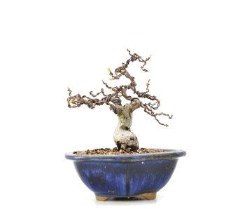 Carpinus coreana Yamadori, 12,5 cm, ± 35 jaar oud
