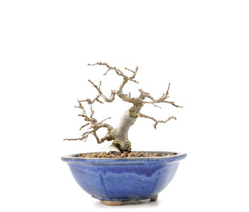 Carpinus coreana Yamadori, 11,5 cm, ± 35 jaar oud