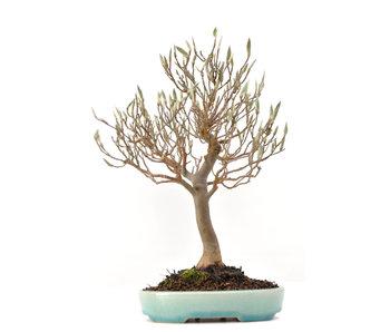 Stewartia monadelpha, 26 cm, ± 35 jaar oud