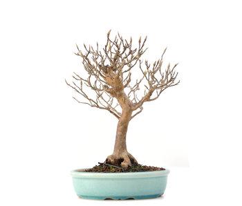 Stewartia monadelpha, 21,5 cm, ± 35 jaar oud
