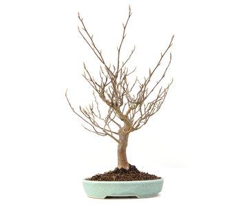 Stewartia monadelpha, 28 cm, ± 35 jaar oud