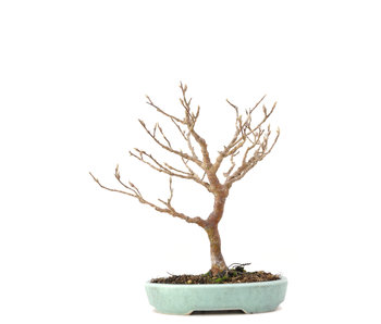 Stewartia monadelpha, 21 cm, ± 35 jaar oud