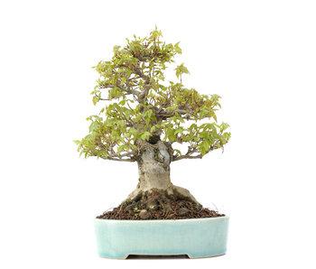 Acer buergerianum, 20,5 cm, ± 20 años