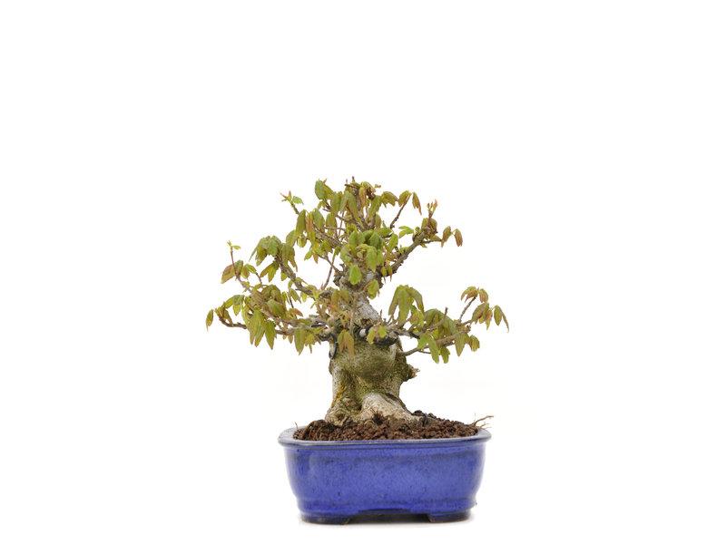 Acer buergerianum, 14,5 cm, ± 25 jaar oud, met een nebari van 10 cm
