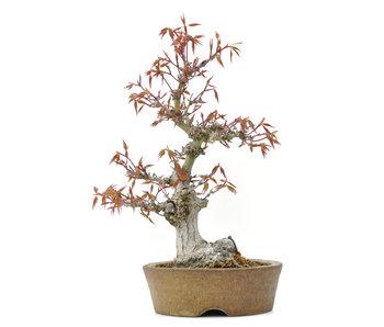 Acer palmatum, 24 cm, ± 20 anni