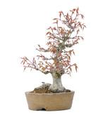 Acer palmatum, 24 cm, ± 20 jaar oud, met een nebari van 9 cm