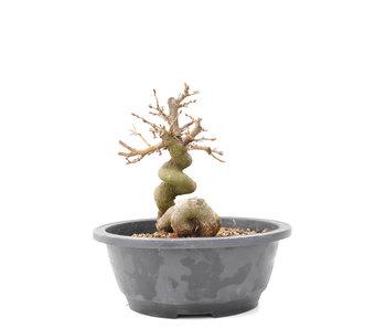 Carpinus coreana Yamadori, 18 cm, ± 15 jaar oud