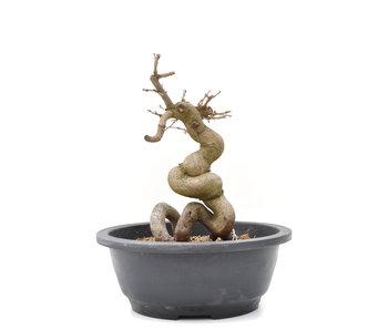 Carpinus coreana Yamadori, 22,5 cm, ± 15 jaar oud