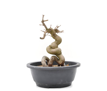 Carpinus coreana Yamadori, 22,5 cm, ± 15 years old