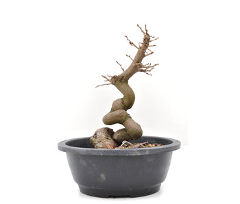Carpinus coreana Yamadori, 24,5 cm, ± 15 años