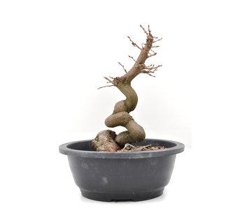 Carpinus coreana Yamadori, 24,5 cm, ± 15 jaar oud
