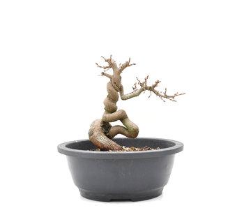 Carpinus coreana Yamadori, 18 cm, ± 15 años