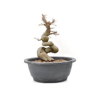 Carpinus coreana Yamadori, 21,5 cm, ± 15 jaar oud