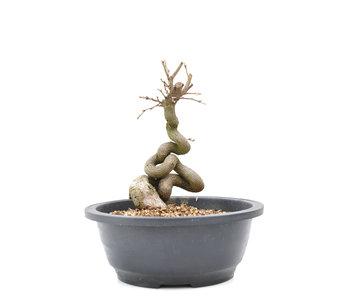 Carpinus coreana Yamadori, 19 cm, ± 15 años