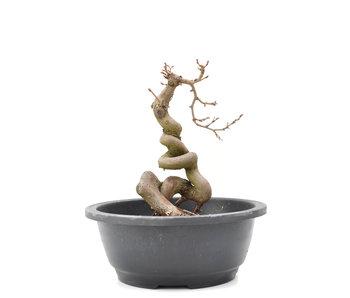Carpinus coreana Yamadori, 21 cm, ± 15 jaar oud