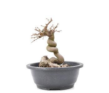 Carpinus coreana Yamadori, 20,5 cm, ± 15 jaar oud