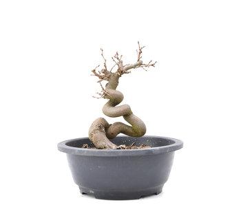 Carpinus coreana Yamadori, 19,5 cm, ± 15 jaar oud