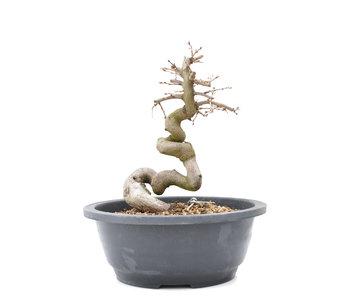 Carpinus coreana Yamadori, 21 cm, ± 15 años
