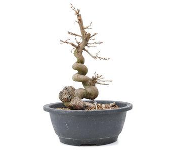 Carpinus coreana Yamadori, 27,5 cm, ± 15 años