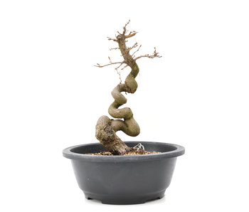 Carpinus coreana Yamadori, 24,5 cm, ± 15 anni