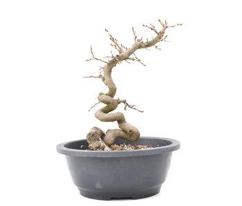 Carpinus coreana Yamadori, 24 cm, ± 15 jaar oud