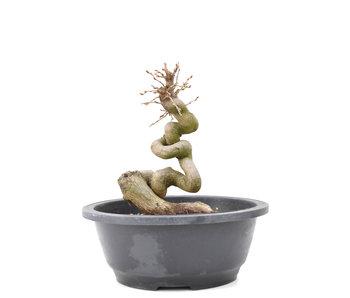 Carpinus coreana Yamadori, 19,5 cm, ± 15 anni