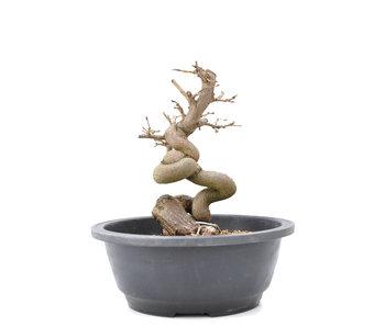 Carpinus coreana Yamadori, 20 cm, ± 15 jaar oud