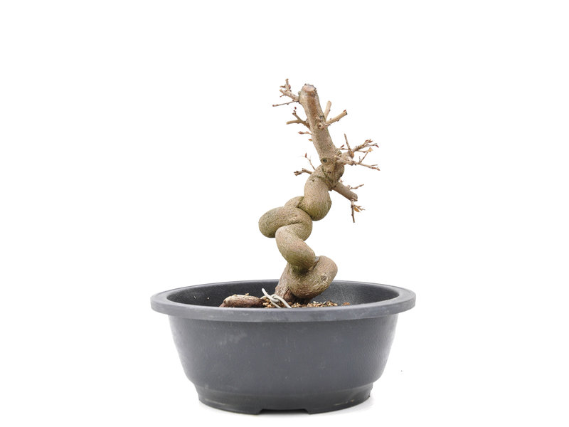 Carpinus coreana Yamadori, 20 cm, ± 15 years old