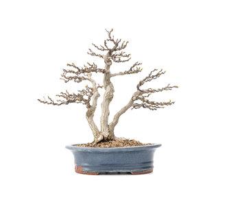 Carpinus coreana Yamadori, 31 cm, ± 40 años