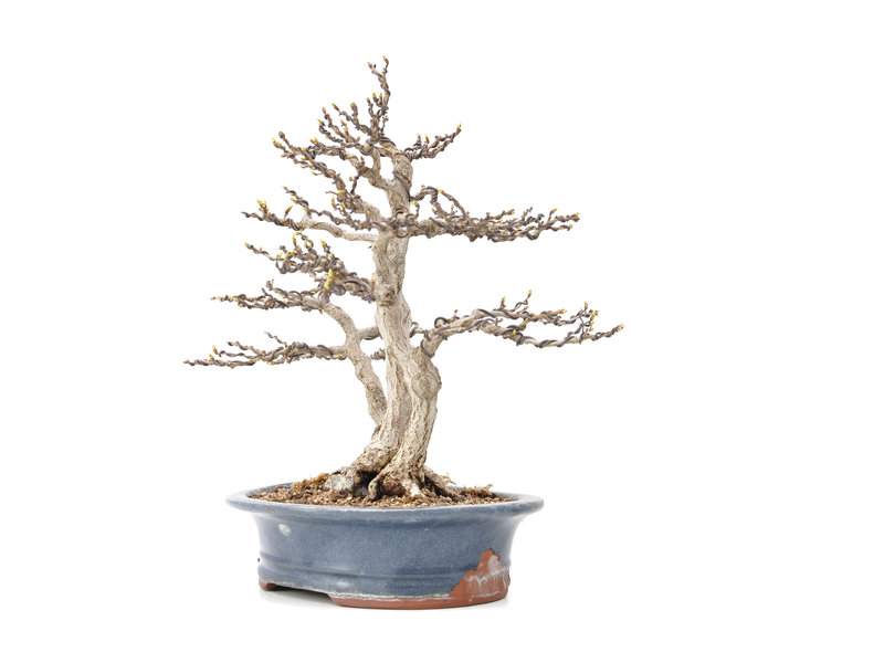Carpinus coreana Yamadori, 31 cm, ± 40 years old, in a pot with several chips and a nebari of 15 cm