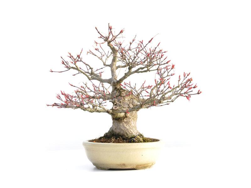 Acer palmatum Seigin, 29,5 cm, ± 35 jaar oud, met een nebari van 15 cm