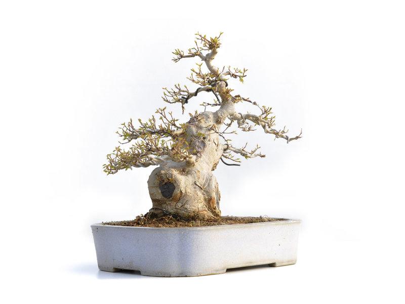Acer buergerianum, 36 cm, ± 35 jaar oud, in een handgemaakte Japanse pot